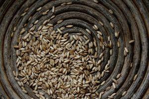 agricultura, seminte