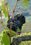 subventie, sector viticol, Agentia de Plati si Interventie pentru Agricultura