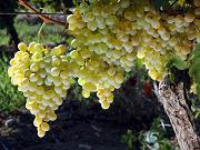 reconversie, plantatii viticole