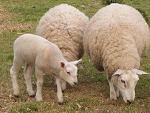 crescatori de ovine / caprine