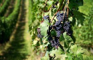 A fost aprobata Hotararea ce stabileste modul de acordare a sprijinului financiar din partea UE pentru producatorii din sectorul vitivinicol