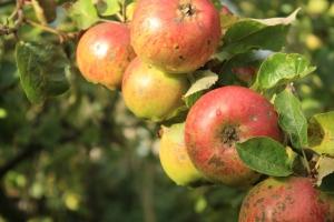 Autoritatea Nationala Fitosanitara realizeaza analize de laborator la mere