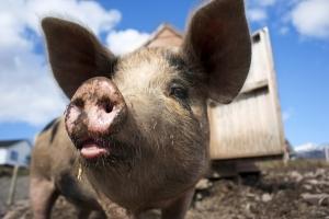 Crescatorii de porci si pasari vor putea accesa din nou sprijinul pentru bunastarea animalelor