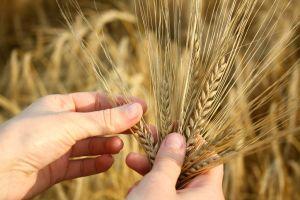 Fermierii pot garanta creditele la banci cu cerealele din silozuri
