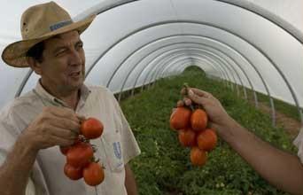 Buzau: Programul Tomata, puternic afectat din cauza frigului din aprilie, sustin specialistii Statiunii Legumicole