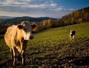 APIA a platit in luna aprilie aproape 700 de milioane de lei subventii pentru bovine si motorina