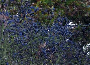 Plantatiile de afine, unul din proiectele reusite ale PNDR 2007-2013
