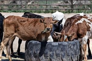 cow-419081_640