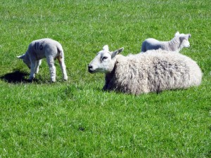 sheep-and-2-lambs