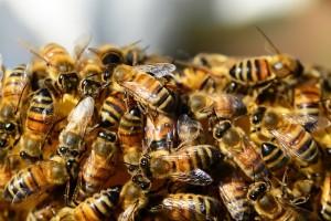 miere-apicultura