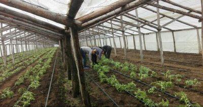 Daea: Programul de sustinere a producatorilor de legume are ca si conditie de acordare a banilor justificarea cu documente a productiei valorificate