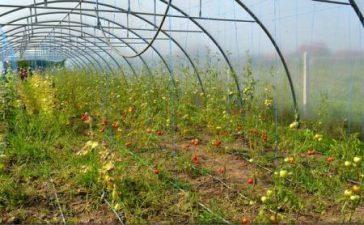 Oficial MADR: Peste 6.000 de cereri pentru ajutorul de minimis pentru cultivarea tomatelor in spatii protejate