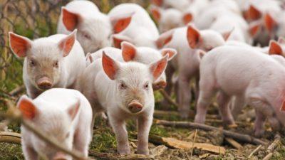 Senat: Ajutoare de stat pentru crescatorii de porci in valoare de jumatate de miliard de euro