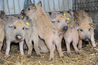 MADR: Au fost facute primele plati in conturile furnizorilor de purcei din cadrul Programului de sustinere a porcilor din rasele Bazna si Mangalita