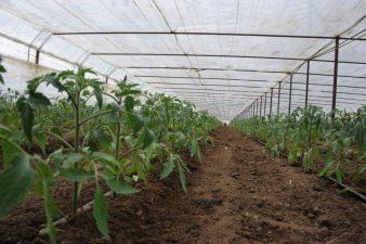 MADR: Programul de sprijin pentru tomate continua si in 2018