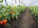 MADR: S-a aprobat prelungirea perioadei de valorificare a tomatelor cultivate in spatii protejate pana la 15 iunie 2018