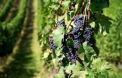 sprijin financiar, viticultori