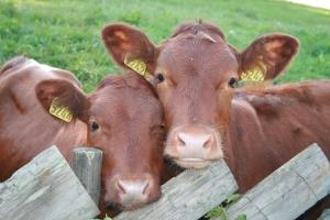 ferma de vaci, fonduri europene