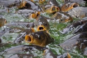 Cat te costa sa iti faci ferma de pesti: Investitia minima pentru amenajarea unei suprafete de un hectar, 300.000 de euro