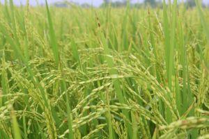 Ministerul Agriculturii va aloca un ajutor specific pentru cultivarea orezului in zonele defavorizate