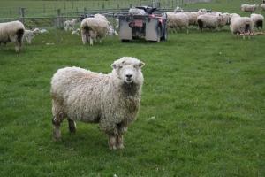 Crescatorii de ovine vor primi un sprijin financiar de 1 leu/kg pentru lana comercializata