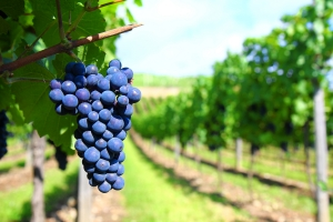 Impactul sprijinului acordat de UE in vederea asigurarii competitivitatii sectorului vitivinicol nu este clar demonstrat