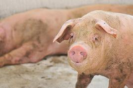 S-a adopat programul prin care crescatorii de porci vor primi de la stat 86 de milioane de euro