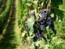 Încă un vin românesc inclus de Comisia Europeană în Registrul denumirilor de origine protejate (DOP)