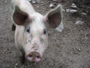 APIA: Se elibereaza adeverinte pentru beneficiarii Masurii 215 Plati privind bunastarea animalelor – pachet a – porcine