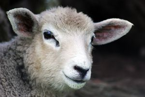 APIA a platit intr-o singura zi peste 340 de milioane de lei crescatorilor de oi si de capre