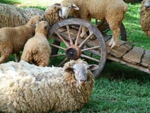 APIA: In aceasta perioada se desfasoara controlul la fata locului, in exploatatiile de bovine, ovine si caprine