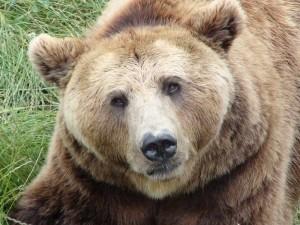 Life+: Ursul brun si lupii din Apuseni, salvati de britanici