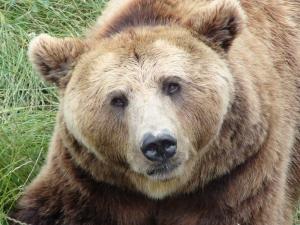 Ursul_brun.jpg