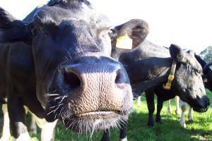 Noi conditii pentru crescatorii de bovine care vor sa acceseze schema nationala de plati directe