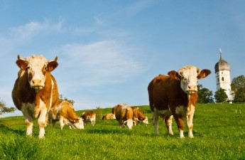 Se platesc subventiile pentru vacile de lapte
