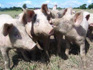 Ajutor de stat pentru producatorii agricoli din sectorul cresterii animalelor