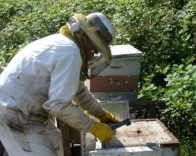 Crescatorii de albine din Romania vor putea accesa fonduri pentru agricultura ecologica