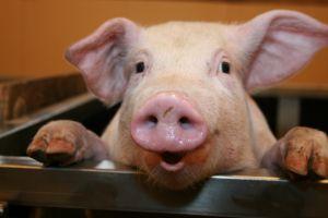 Uniunea Europeana isi deschide portile pentru porcii romanesti si vinurile moldovenesti