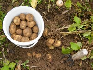 Cultivatorii de cartofi ale carori culturi au fost afectate de boli vor primi 2 milioane de lei ajutor de la Guvern