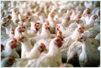 APIA: Se elibereaza adeverinte pentru beneficiarii Masurii 215 Plati privind bunastarea animalelor – pachet b – pasari