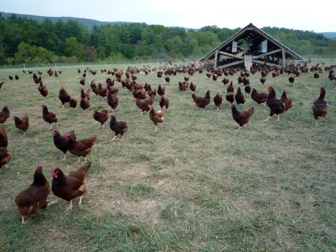 Eggmobile_and_flock_of_chickens_at_Polyface_Farm.jpg