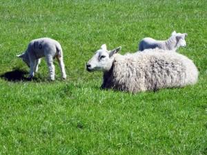 Fermierii romani exporta peste 50% din ovinele crescute in tara