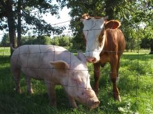 Crescatorii de bovine si porcine vor beneficia de un sprijin financiar de 11 milioane euro