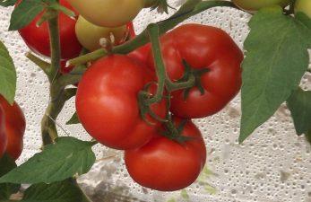 Sprijin financiar pentru producatorii de tomate