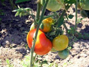 Actualizarea numarului de cereri depuse pentru obtinerea sprijinului financiar pentru tomate cultivate in spatii protejate