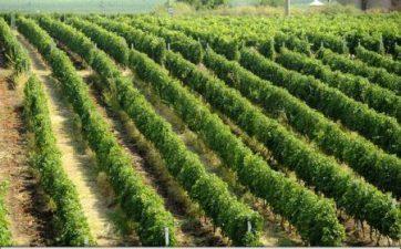 Romania avea in 2015 cei mai multi proprietari de podgorii din Uniunea Europeana