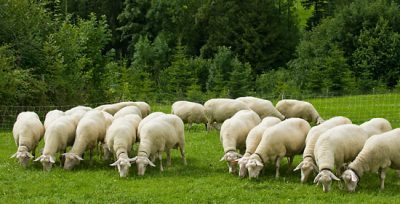 Termen: 24 aprilie este ultima zi in care mai este permisa transhumanta oilor pe terenuri agricole