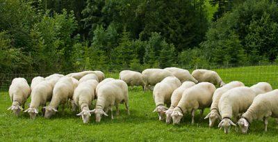 Sase milioane euro, fonduri europene pentru incurajarea consumului de carne de oaie si capra