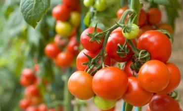Peste 9.500 de producatori s-au inscris in programul de tomate; rezultatele se vor vedea in balanta comerciala a acestui produs