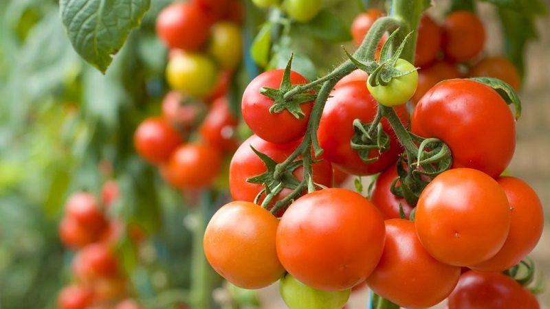 MADR: Programul de sprijin pentru tomate continuă și în 2019